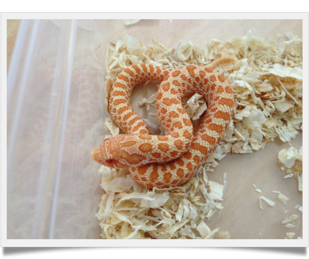 hognose albino04